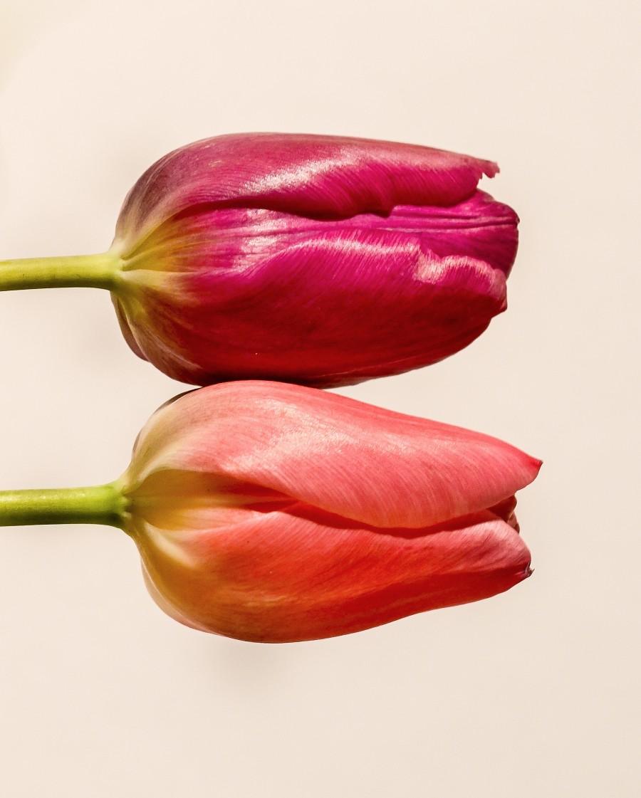 Pair of tulips