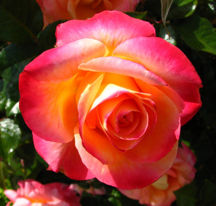 pink-orange-yellow rose