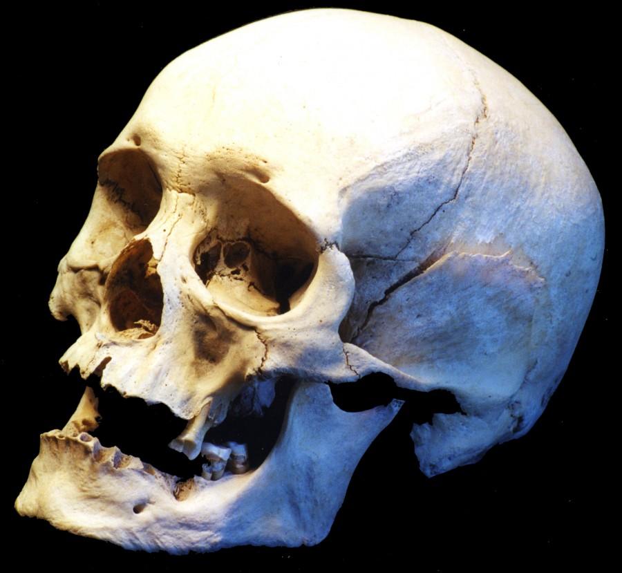 Human Skull Side View On Skitterphoto