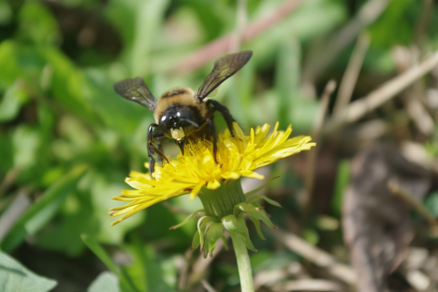Carpenter Bee on Yellow Flower
