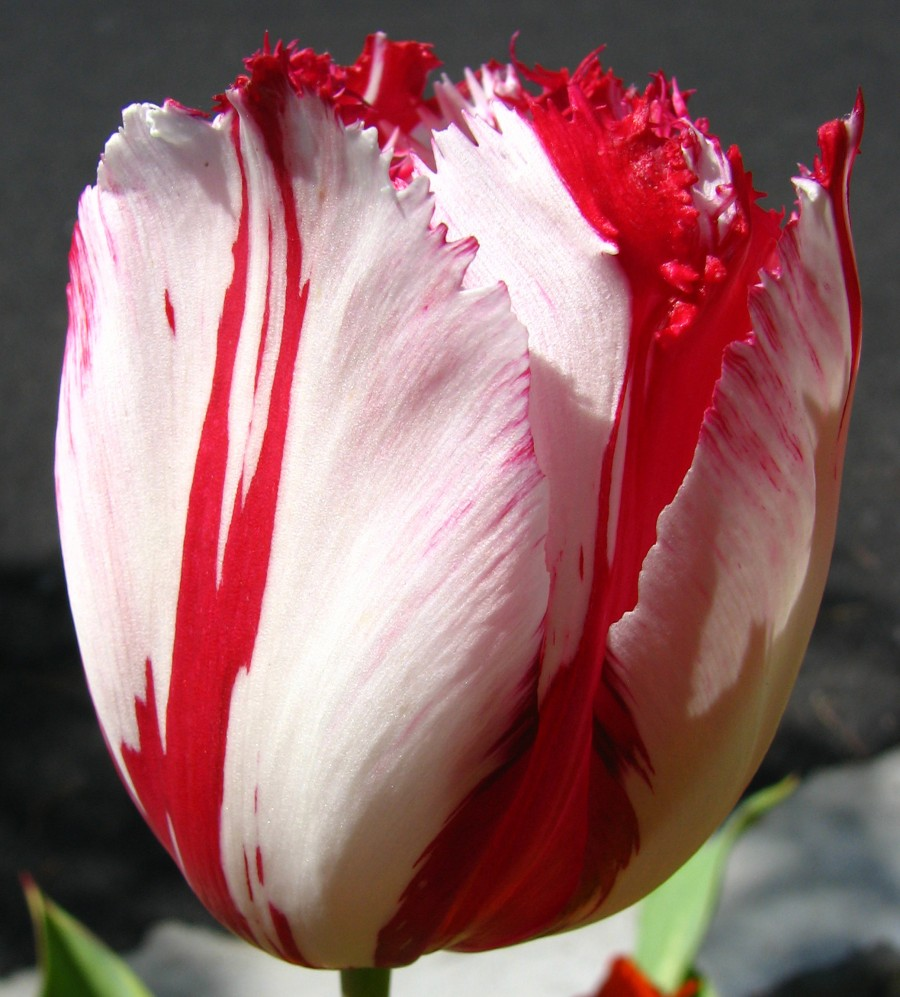 red-and-white fringed tulip 1