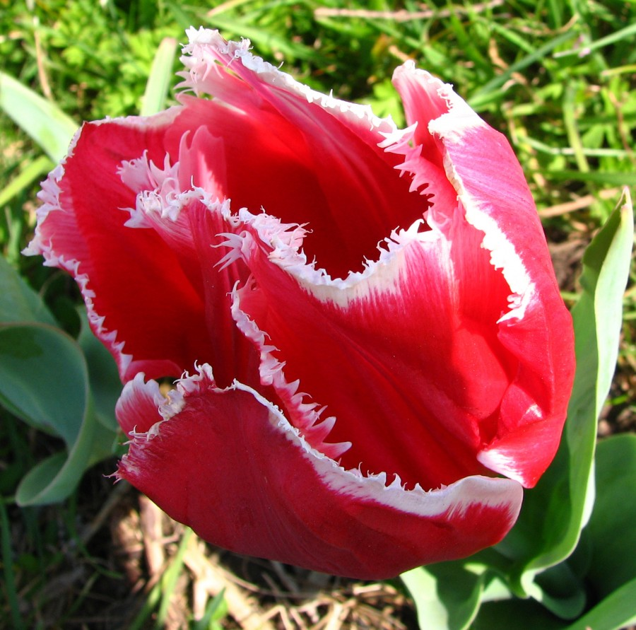 red-and-white fringed tulip 2