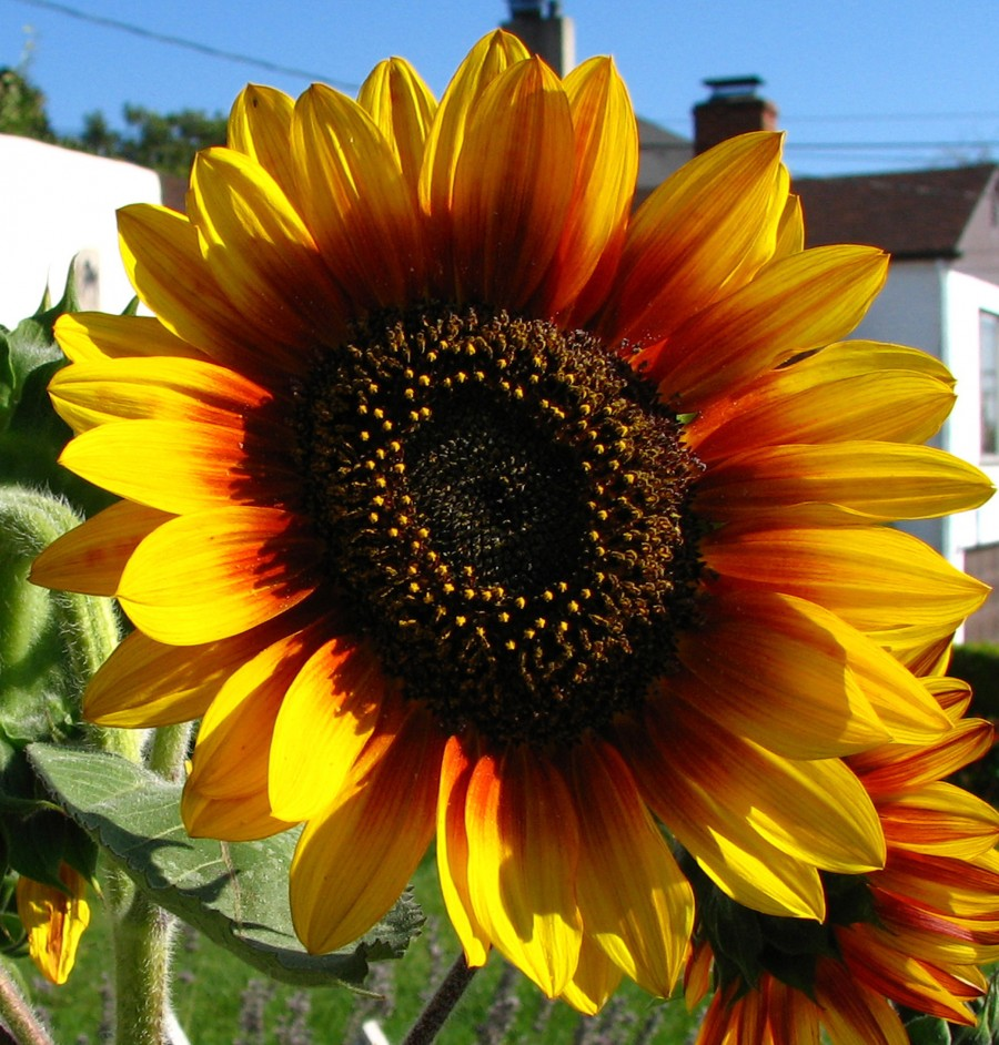 red-and-yellow sunflower