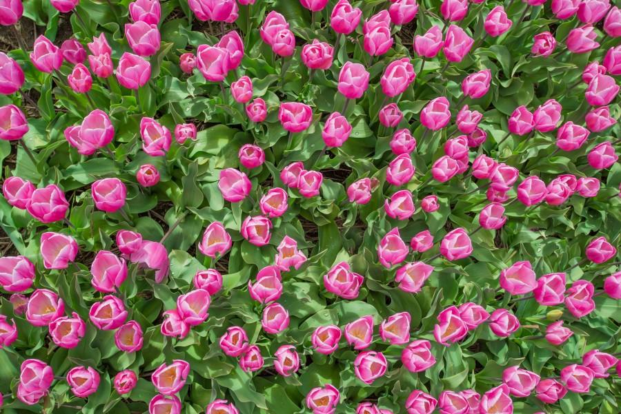Export tulip bulbs