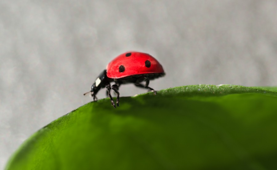 Ladybug walking on a leaf