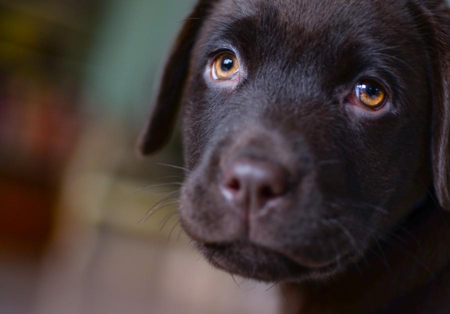 Sad looking Labrador