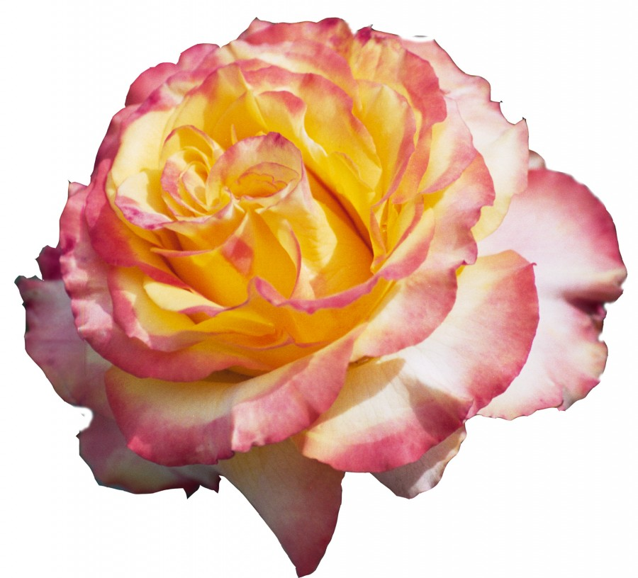 pink-and-yellow rose