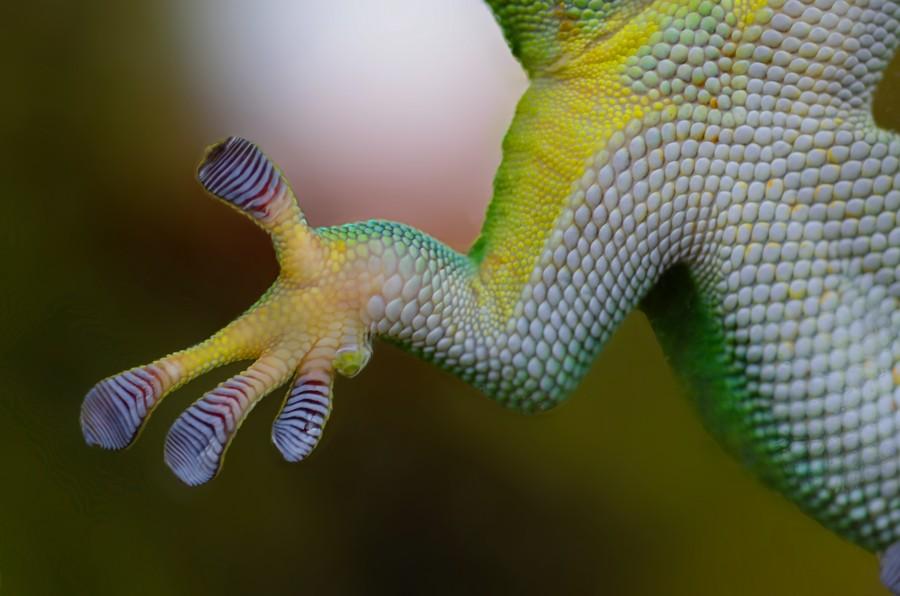 Gecko paw