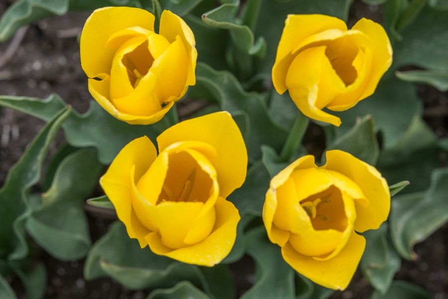 Four yellow tulips