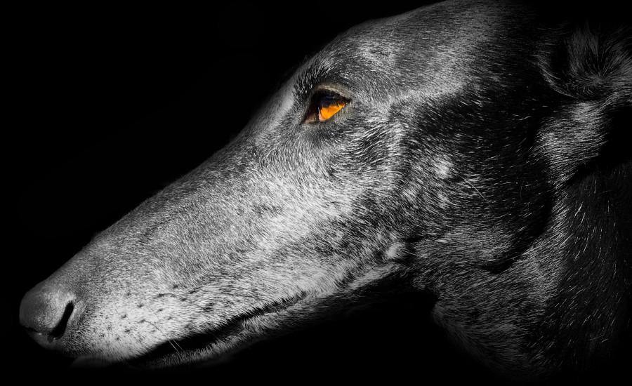 Galgo Espaniol Greyhound