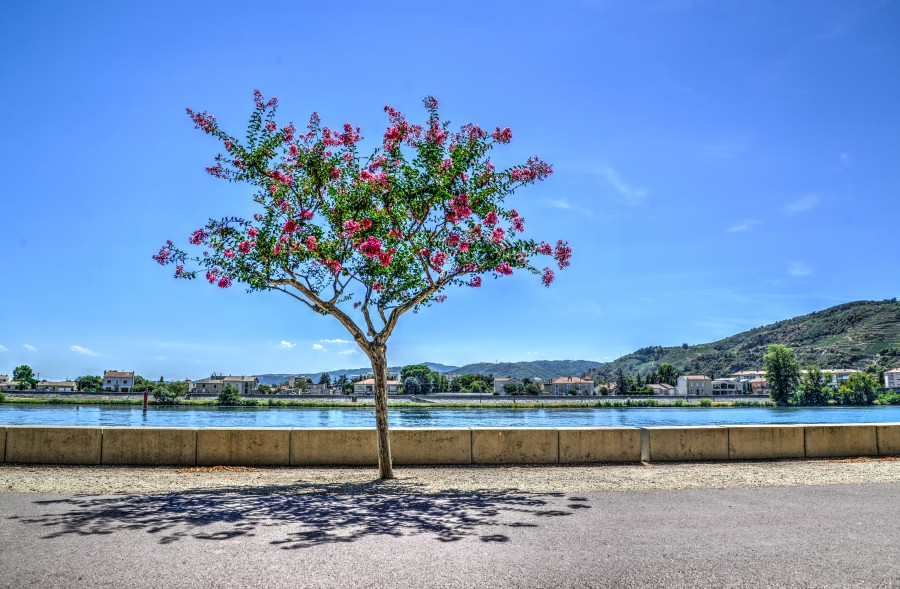 The boulevard tree