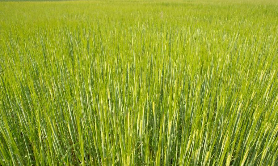 Fresh wheat in spring