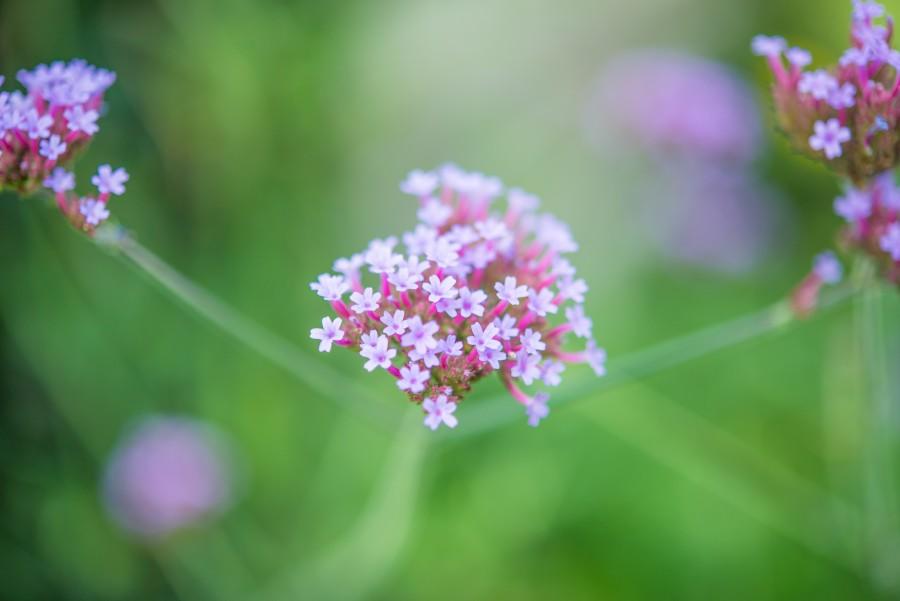 Purple flowers with macro lens