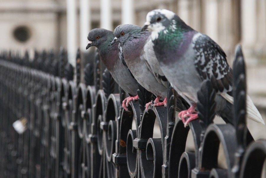 Pigeons on a row