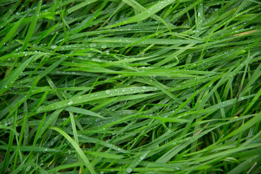 Long wet grass
