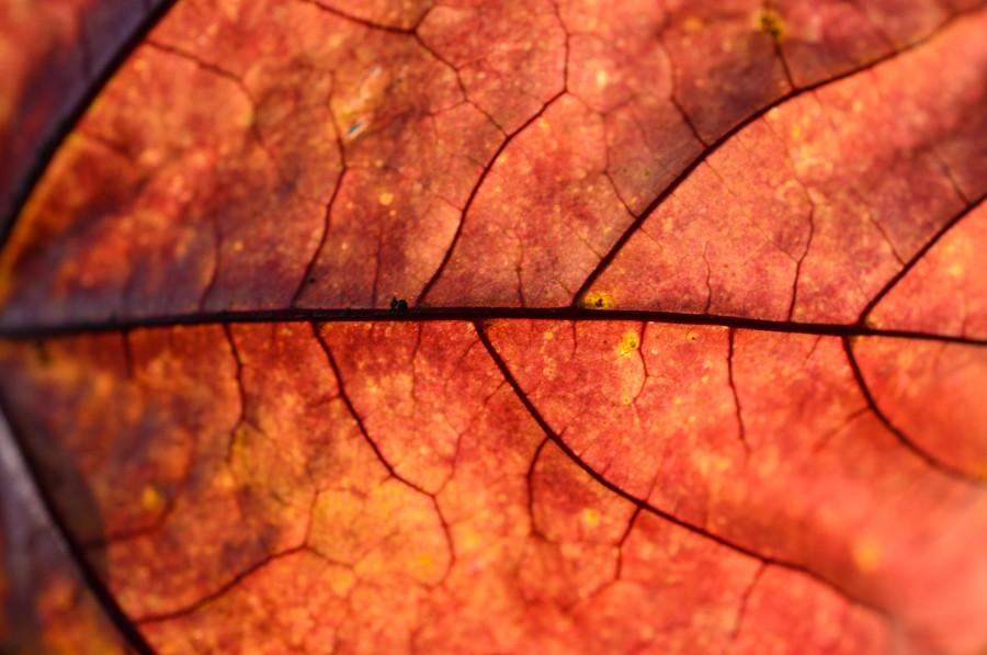 Red leaf macro