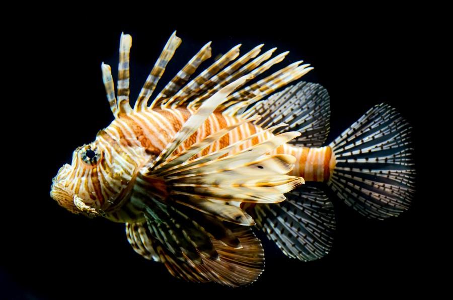 Lionfish close up