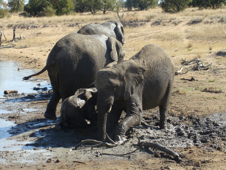 Muddy Elephants