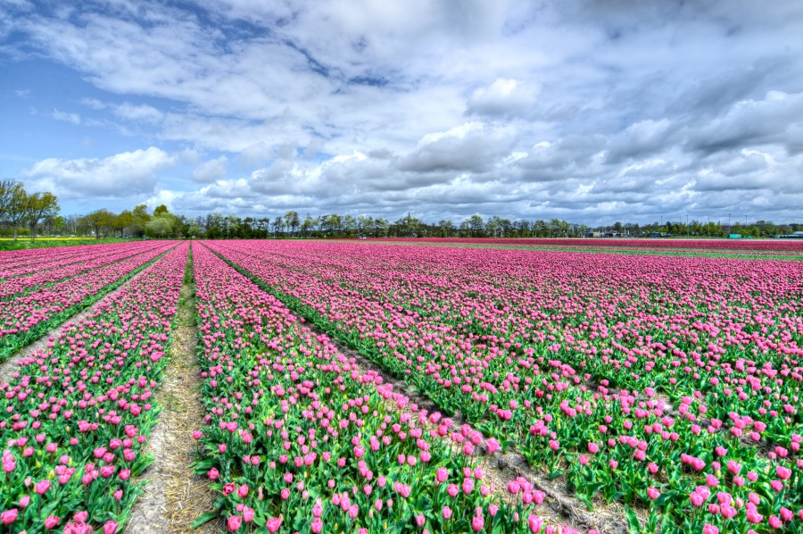 Field with pink tulips