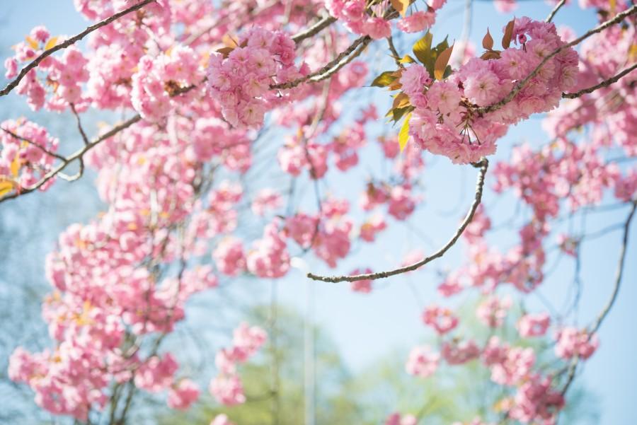Nice pink blossom