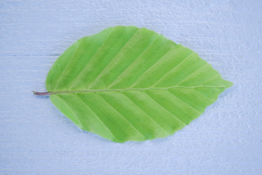 Green leafe close up