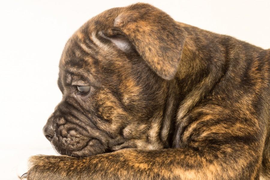 Lovely bulldog pup
