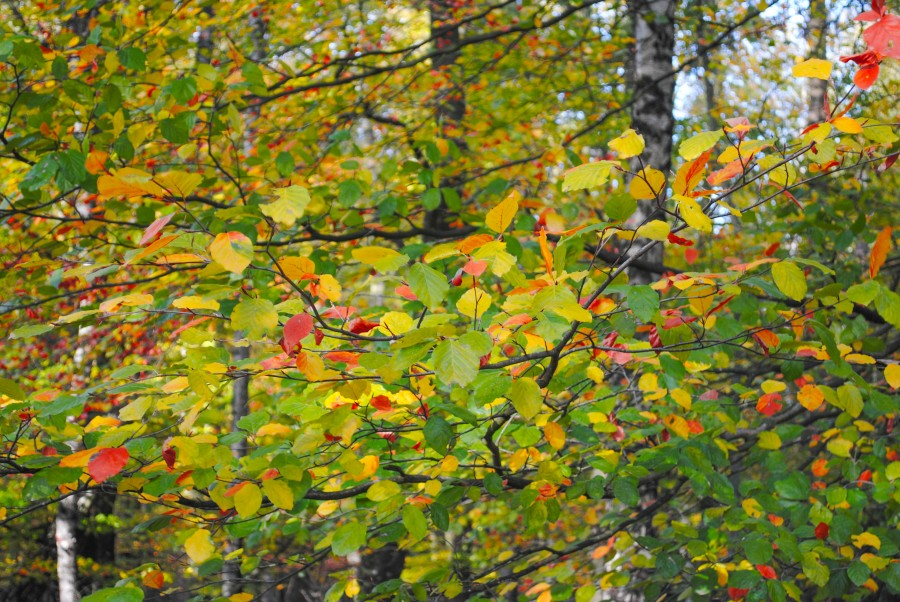 Colorful beech leafs