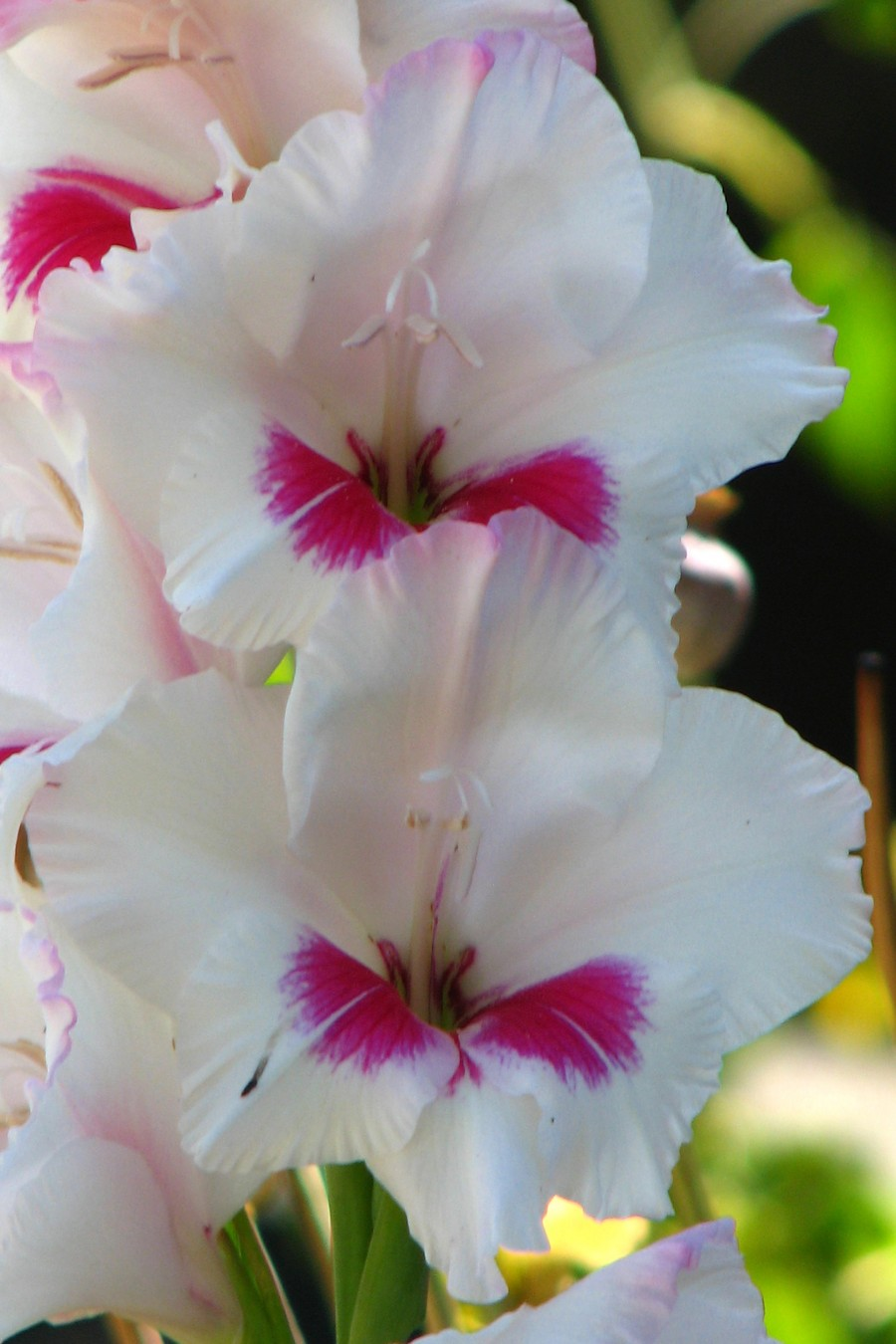 white and pink gladiolas