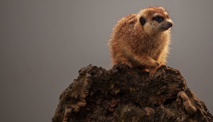 Meerkat on wood stump
