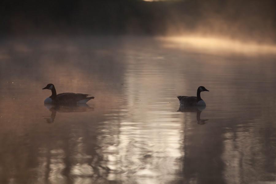 Canadian Geese on misty lake at sunrise