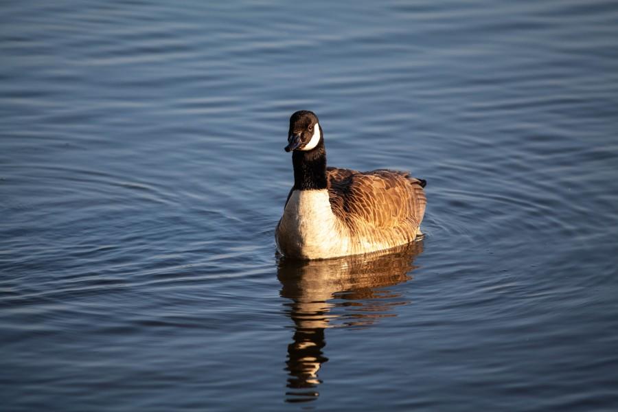 Goose on lake