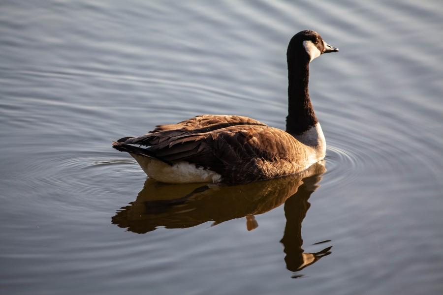 Canadian goose on lake