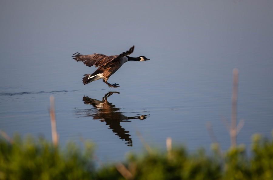 Canadian Goose landing on lake