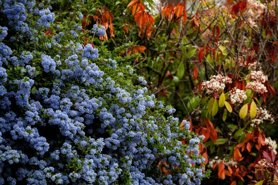Blue flowering bush with autumn colours behind
