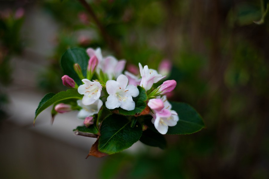 White blossom and pink buds