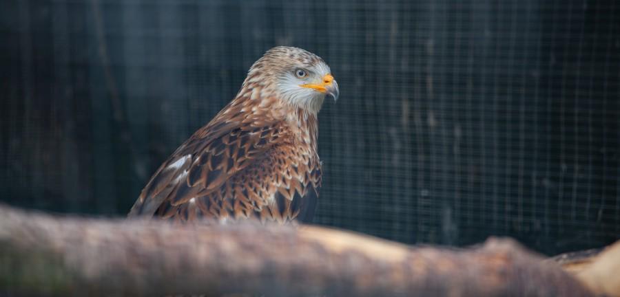 Brown hawk with orange beak