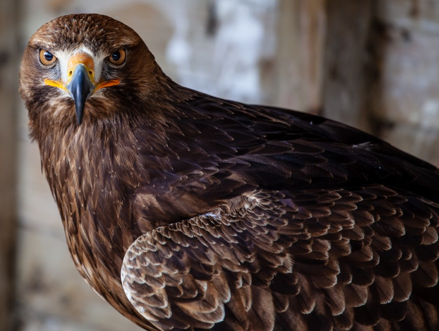 Brown eagle with vivid brown eyes
