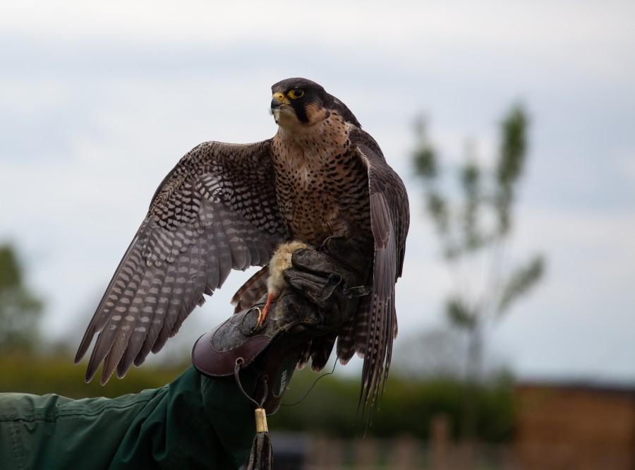 Falcon on wrist