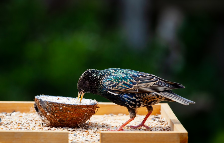Male starling eating from coconut husk