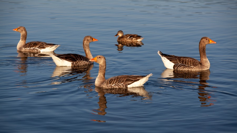 4 geese and a duck on a lake