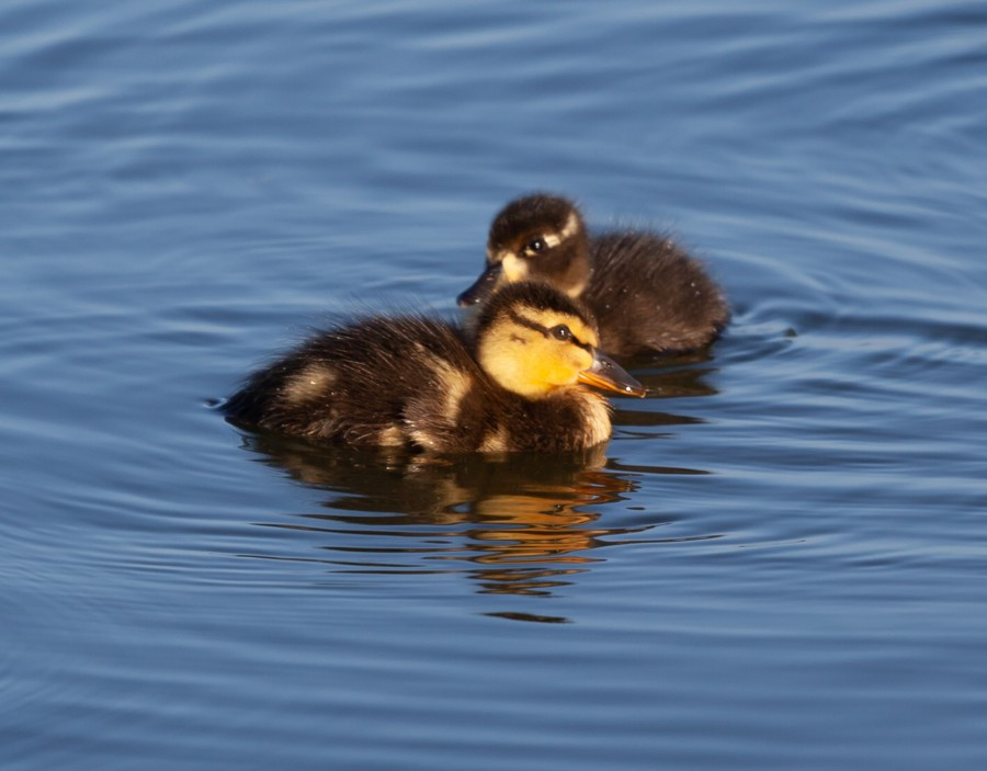 Close up of 2 duck chicks on water