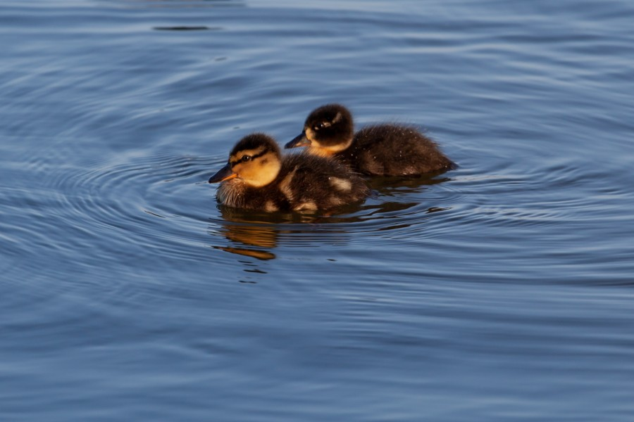 2 ducklings on water