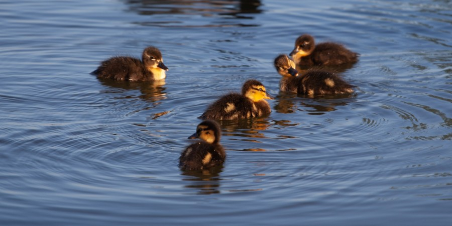 5 ducklings