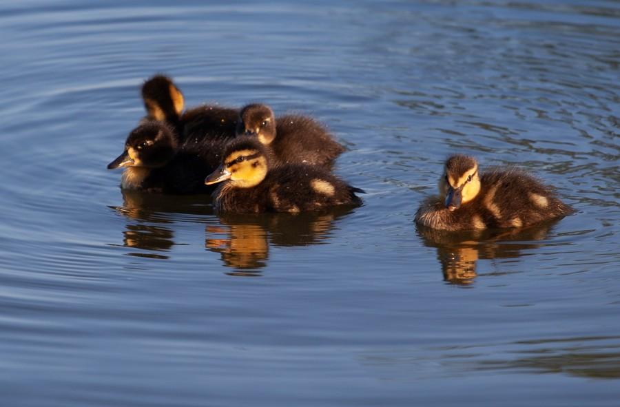 Baby ducks on water
