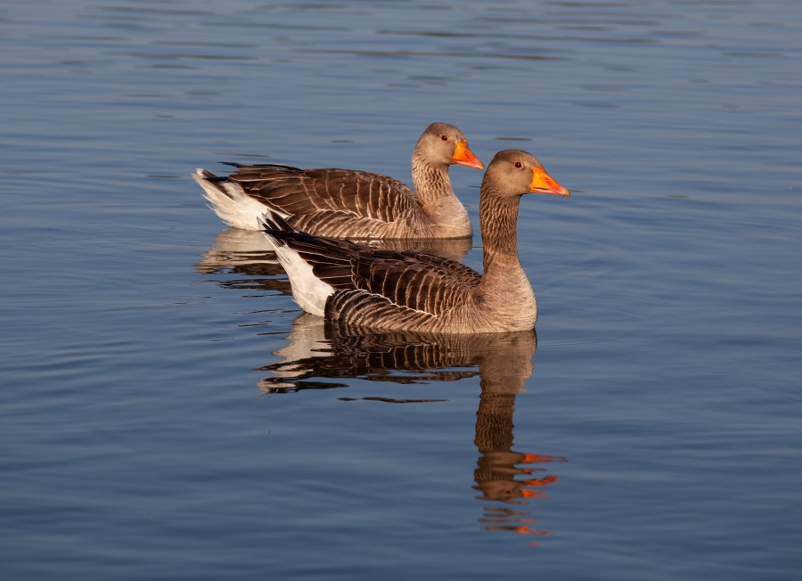 Pair of geese floating on lake in morning light