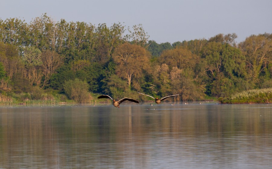 two low flying geese over water