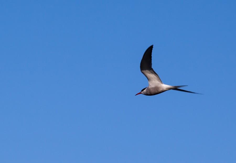 tern flying against blue sky