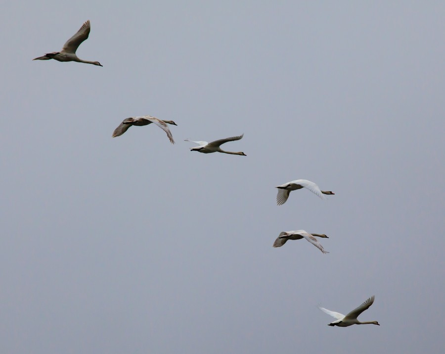 6 swans in flight