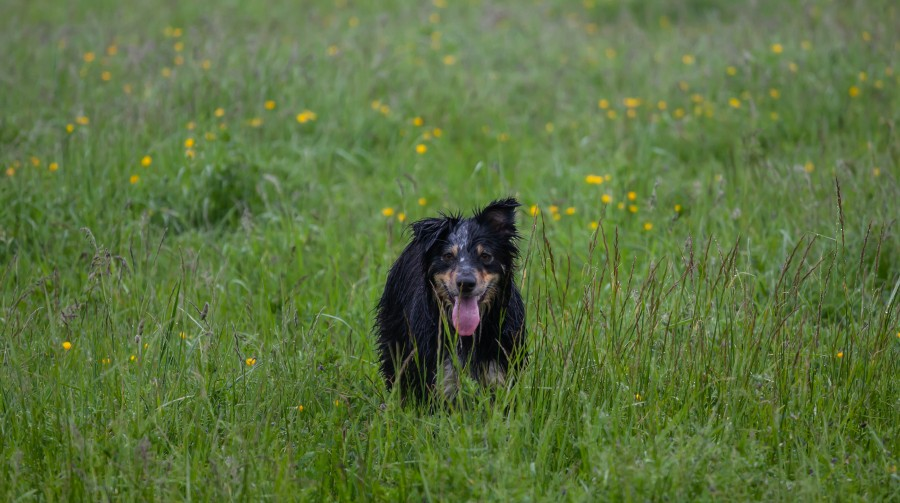 Wet dog in meadow