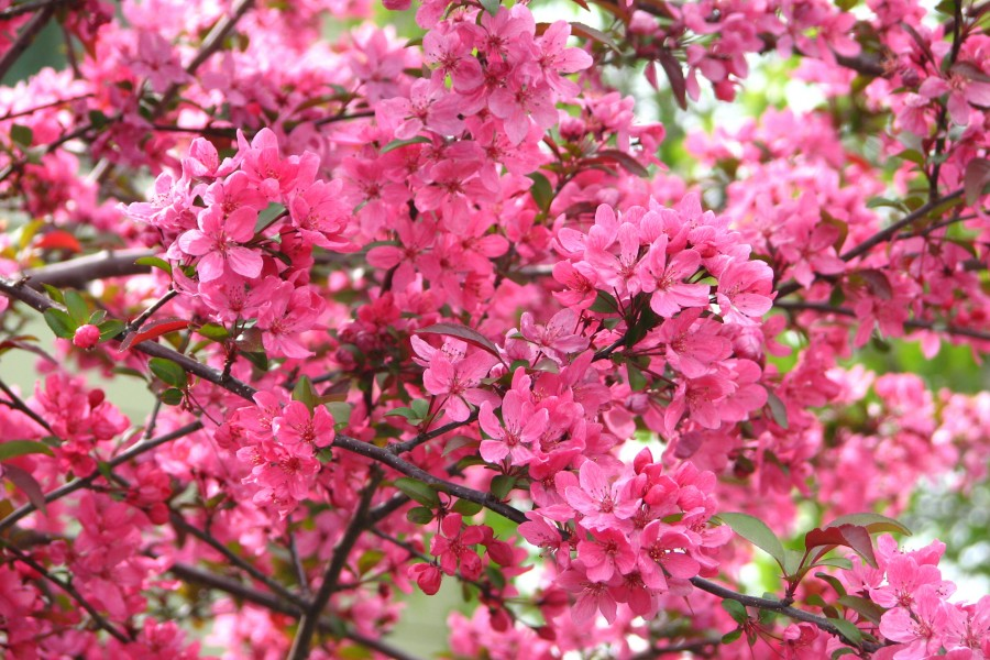 pink fruit tree blossoms 2